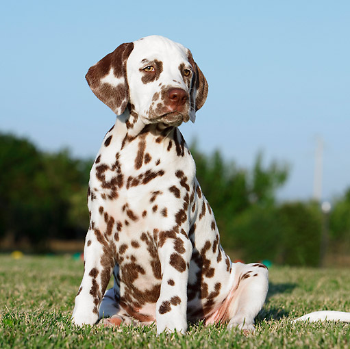 PUP 03 CB0009 01 © Kimball Stock Portrait Of Dalmatian Puppy Sitting On Grass