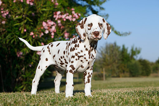 PUP 03 CB0010 01 © Kimball Stock Portrait Of Dalmatian Puppy Standing On Grass By Pink Blossoms