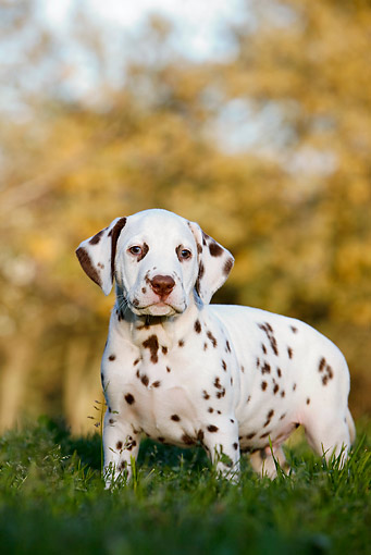 PUP 03 CB0012 01 © Kimball Stock Portrait Of Dalmatian Puppy Standing On Grass By Autumn Trees