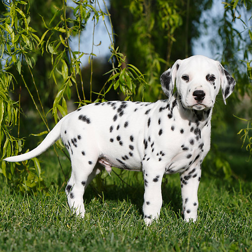 PUP 03 CB0027 01 © Kimball Stock Dalmatian Puppy Standing In Grass