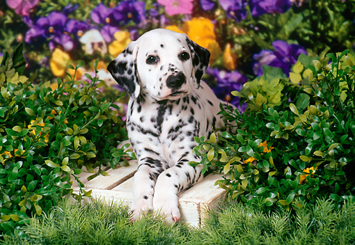 PUP 03 FA0017 01 © Kimball Stock Dalmatian Puppy Laying On Wooden Box By Purple Flowers And Shrubs