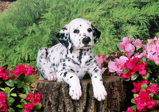 PUP 03 FA0018 01 © Kimball Stock Dalmatian Puppy Laying On Stump By Pink Flowers
