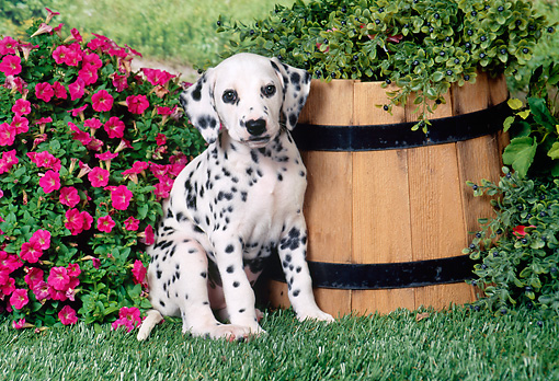 PUP 03 FA0019 01 © Kimball Stock Dalmatian Puppy Sitting On Grass By Pink Flowers And Bucket