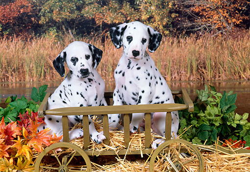 PUP 03 FA0025 01 © Kimball Stock Dalmatian Puppies Sitting In Wooden Wagon.