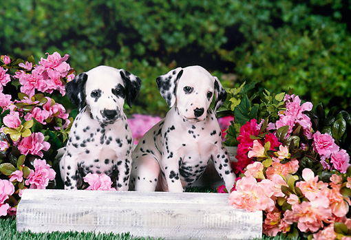 PUP 03 FA0028 01 © Kimball Stock Dalmatian Puppies Sitting On Wooden Box With Flowers.