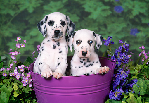 PUP 03 FA0029 01 © Kimball Stock Twp Dalmatian Puppies Sitting In Bucket With Flowers.