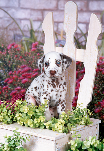 PUP 03 FA0032 01 © Kimball Stock Dalmatian Puppy Sitting On Wooden Chair In Garden