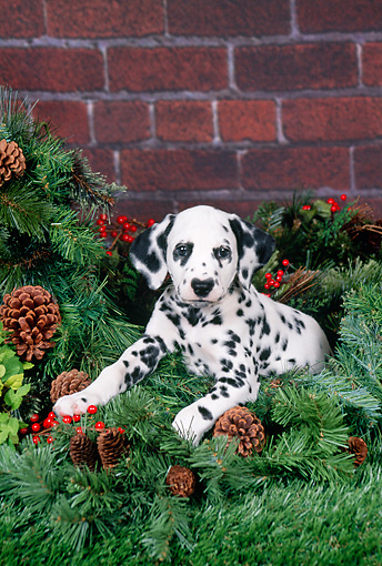 PUP 03 FA0038 01 © Kimball Stock Dalmatian Puppy Laying On Pine Branches And Holly By Brick Wall