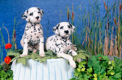PUP 03 FA0039 01 © Kimball Stock Dalmatian Puppies On Upside-Down Bucket By Pond