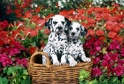 PUP 03 FA0043 01 © Kimball Stock Dalmatian Puppies Sitting In Wicker Basket By Red And Pink Flowers