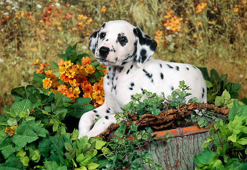 PUP 03 FA0044 01 © Kimball Stock Dalmatian Puppy Laying On Stump In Garden