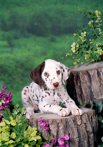 PUP 03 FA0045 01 © Kimball Stock Dalmatian Puppy Laying On Stump In Garden