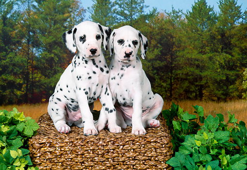 PUP 03 FA0048 01 © Kimball Stock Two Dalmatian Puppies Sitting On Basket In Meadow