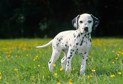 PUP 03 JS0001 01 © Kimball Stock Dalmatian Puppy Standing In Poppy Field