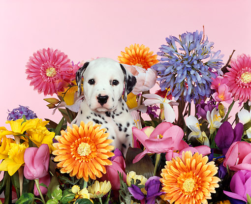 PUP 03 RK0068 01 © Kimball Stock Dalmatian Puppy Sitting Among Flowers Studio