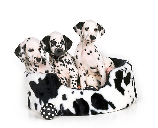 PUP 03 RK0093 05 © Kimball Stock Dalmatian Puppies Sitting In Black And White Bed With Ball White Seamless Background