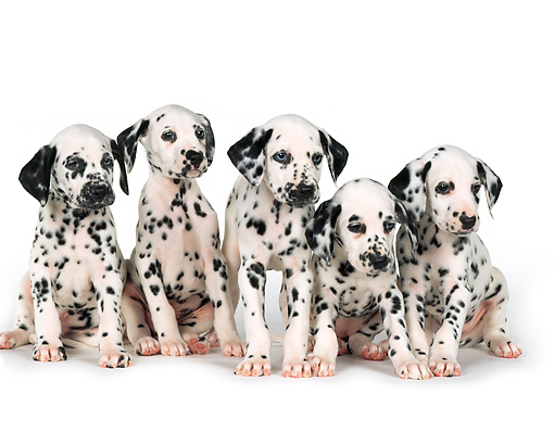 PUP 03 RK0229 01 © Kimball Stock Five Dalmatian Puppies Sitting On White Seamless