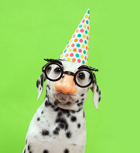 PUP 03 XA0003 01 © Kimball Stock Dalmatian Puppy With Gag Glasses And Party Hat