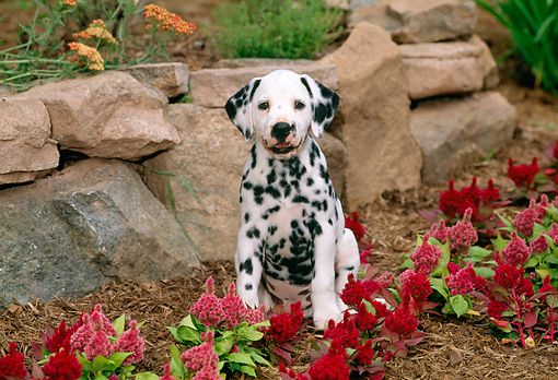 PUP 03 CE0002 01 © Kimball Stock Dalmatian Puppy Sitting By Flowers And Stone Wall