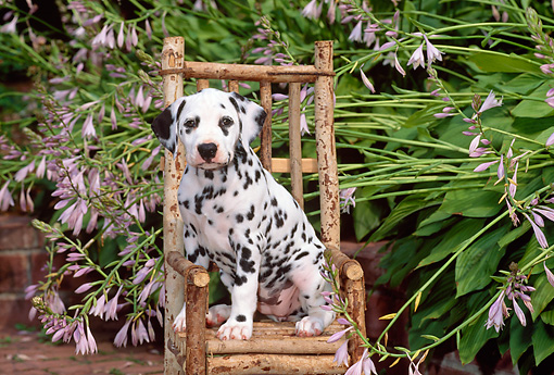 PUP 03 CE0003 01 © Kimball Stock Dalmatian Puppy Sitting On Chair By Flowers