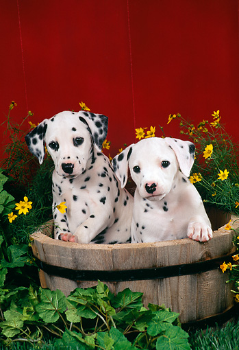 PUP 03 FA0002 01 © Kimball Stock Two Dalmatian Puppies Sitting In Wooden Bucket By Flowers