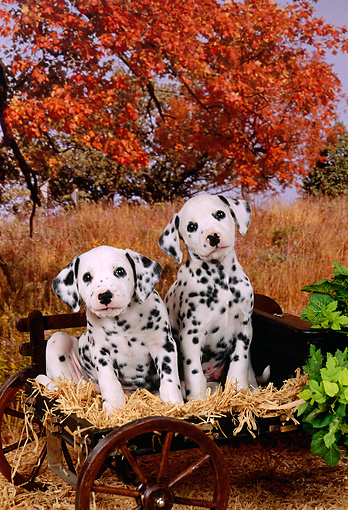 PUP 03 FA0003 01 © Kimball Stock Two Dalmatian Puppies Sitting In Wagon By Autumn Trees