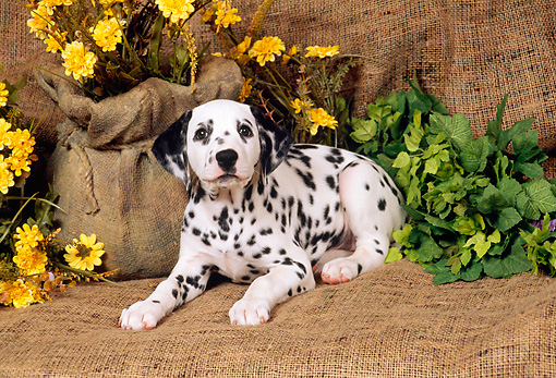 PUP 03 FA0005 01 © Kimball Stock Dalmatian Puppy Laying On Burlap By Yellow Flowers
