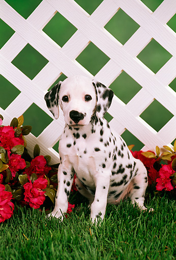 PUP 03 FA0007 01 © Kimball Stock Dalmatian Puppy Sitting On Grass By Red Flowers And Lattice