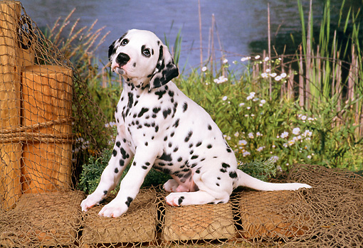 PUP 03 FA0008 01 © Kimball Stock Dalmatian Puppy Sitting On Dock By Lake