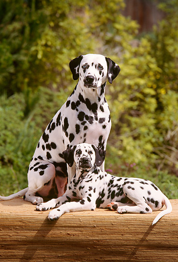 PUP 03 RC0002 01 © Kimball Stock Dalmatian Puppy Laying Next To Adult Sitting On Mat By Trees