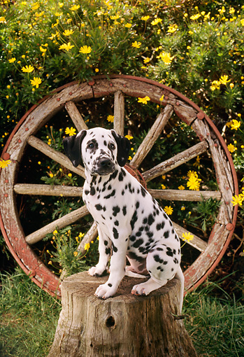 PUP 03 RC0003 01 © Kimball Stock Dalmatian Puppy Sitting On Tree Stump By Wagon Wheel And Shrub With Yellow Flowers