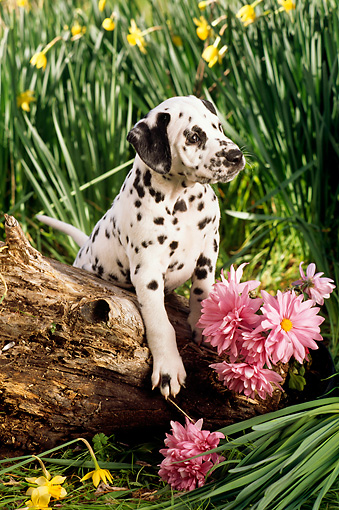PUP 03 RC0004 01 © Kimball Stock Dalmatian Puppy Climbing On Log By Daffodils And Pink Flowers