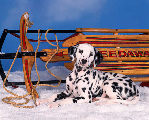 PUP 03 RK0006 12 © Kimball Stock Dalmatian 10 Weeks Old Laying In Snow Next To Sled  Blue Background