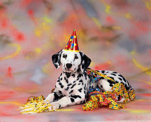 PUP 03 RK0018 06 © Kimball Stock Dalmatian Laying With Party  Hat And Decorations With  Colorful Background