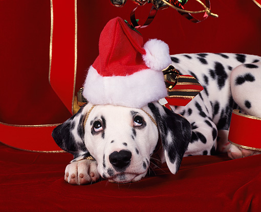 PUP 03 RK0032 02 © Kimball Stock Dalmatian Laying Up-close   Wearing A Christmas Hat With  Red Ribbon Background