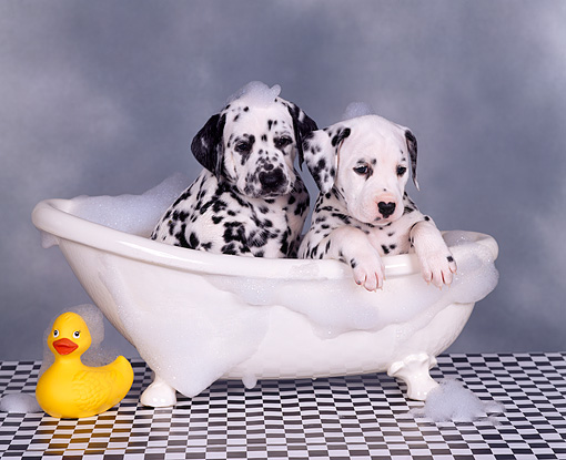 PUP 03 RK0070 07 © Kimball Stock Dalmatian Puppies Sitting In Bathtub With Bubbles Facing Camera Checkered Floor Gray Background