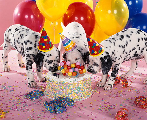 PUP 03 RK0074 03 © Kimball Stock Dalmatian Puppies Wearing Party Hats Eating Cake By Balloons And Streamers Pink Background