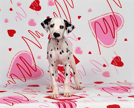 PUP 03 RK0084 01 © Kimball Stock Dalmatian Puppy Sitting Facing Camera On Valentine Heart Background