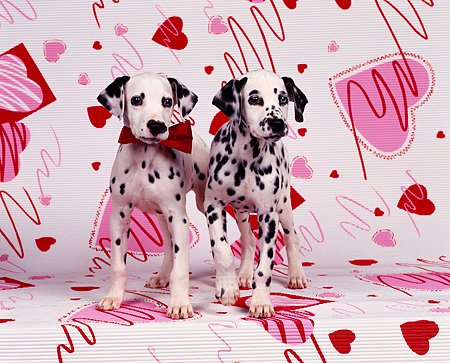PUP 03 RK0085 01 © Kimball Stock 2 Dalmatian Puppies Sitting One Wearing Red Bow On Valentine Hearts Background Facing Camera
