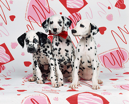 PUP 03 RK0086 02 © Kimball Stock 3 Dalmatian Puppies Sitting Together One With Red Bow Facing Camera On Valentine Heart Background