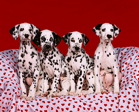 PUP 03 RK0091 09 © Kimball Stock 4 Dalmatian Puppies Sitting Together On Red Heart Material Facing Camera Red Background