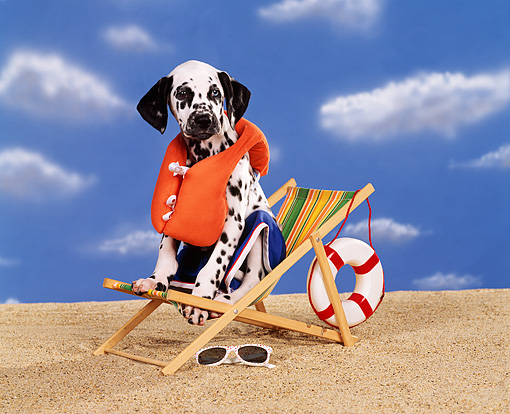 PUP 03 RK0109 07 © Kimball Stock Dalmatian Puppy Sitting On Beach Chair Wearing Life Jacket And Shorts On Sand Blue Clouds Background