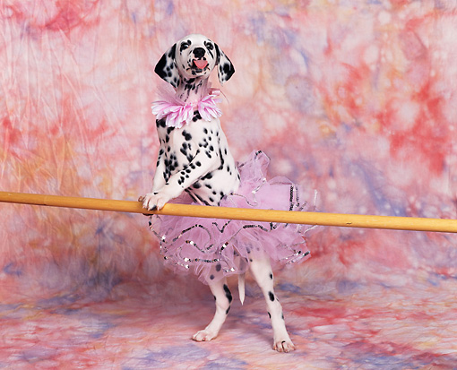 PUP 03 RK0110 15 © Kimball Stock Dalmatian Puppy Standing On Hind Legs Leaning On Bar Wearing Tutu Facing Camera Mottled Background