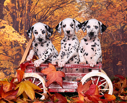 PUP 03 RK0121 01 © Kimball Stock Three Dalmatian Puppies Sitting In Red Wagon Fall Background