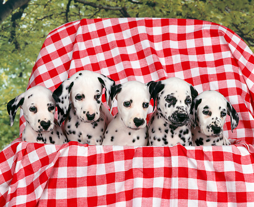 PUP 03 RK0126 01 © Kimball Stock Five Dalmatian Puppies Sitting In Basket With Red And White Cloth Trees Background