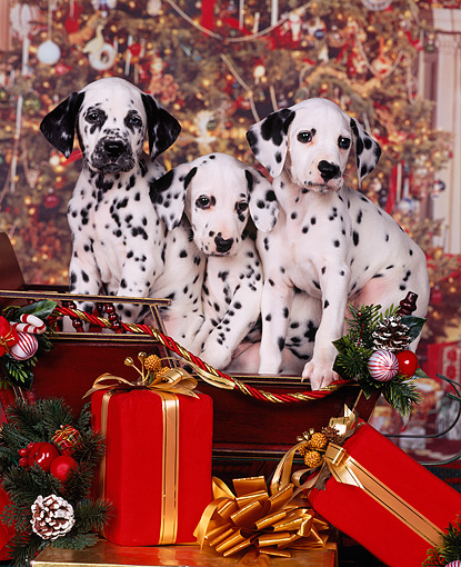 PUP 03 RK0127 11 © Kimball Stock Three Dalmatian Puppies Sitting In Sleigh Christmas Tree Background