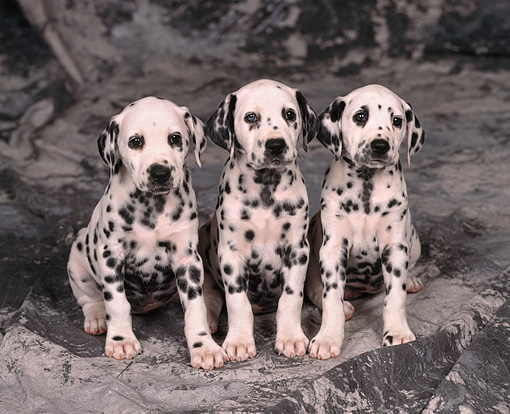 PUP 03 RK0156 01 © Kimball Stock Dalmatian Puppies Sitting Together On Gray Marble Background Facing Camera
