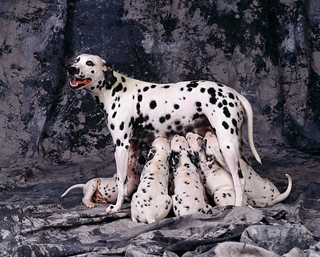 PUP 03 RK0161 14 © Kimball Stock Dalmatian Mother Nursing Her Puppies On Gray Marble Background