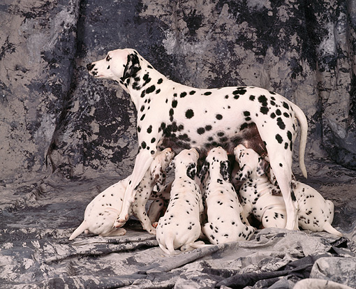 PUP 03 RK0161 16 © Kimball Stock Dalmatian Mother Nursing Her Puppies On Gray Marble Background