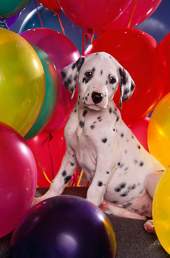 PUP 03 RK0181 01 © Kimball Stock Dalmatian Puppy Sitting On Chair Surrounded By Colorful Balloons